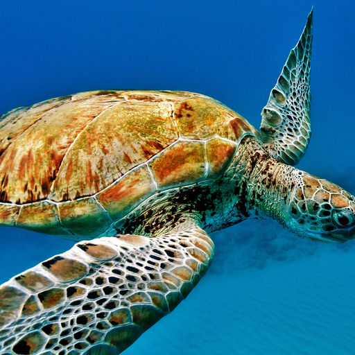 Green sea turtles are often encountered on the reefs in Barbados