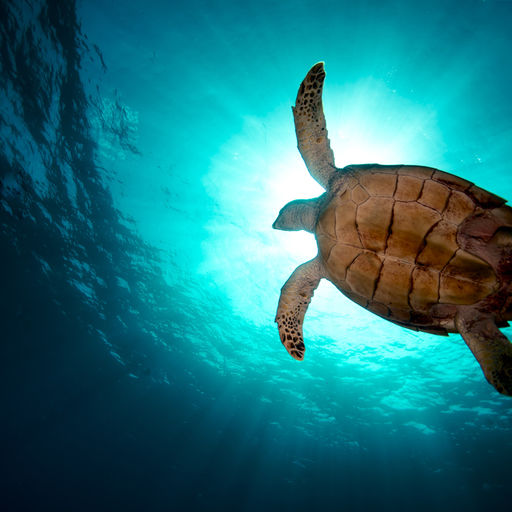 Sea turtles are a common sight in the waters around BVI