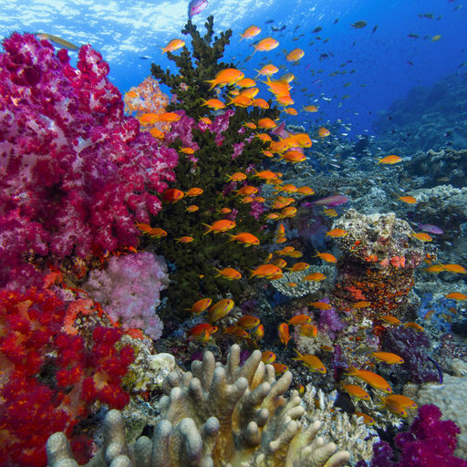 Below the surface, Fiji's vibrant reefs are resplendent with life, home to more than 1,500 species of fish