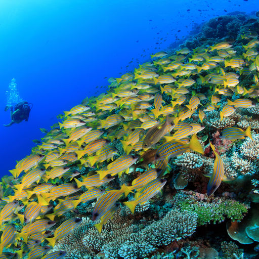 The Maldives are a nation of coral reefs with twenty six atolls adorned with more than 1,200 reef-shrouded islands, creating a lifetime of diving possibilities