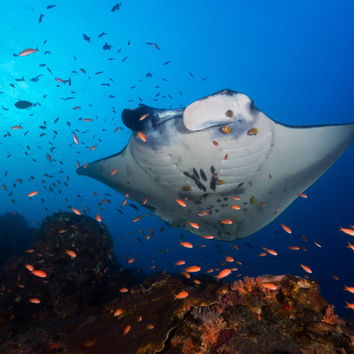 Encounters with manta rays is a hallmark experience with any snorkeler or scuba diver in Micronesia