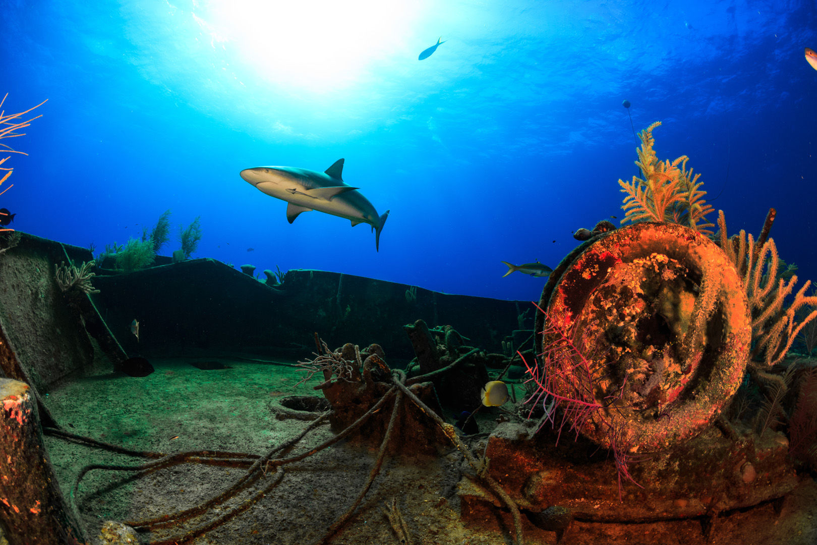 Reef shark swims over a ship wreck in the Bahamas