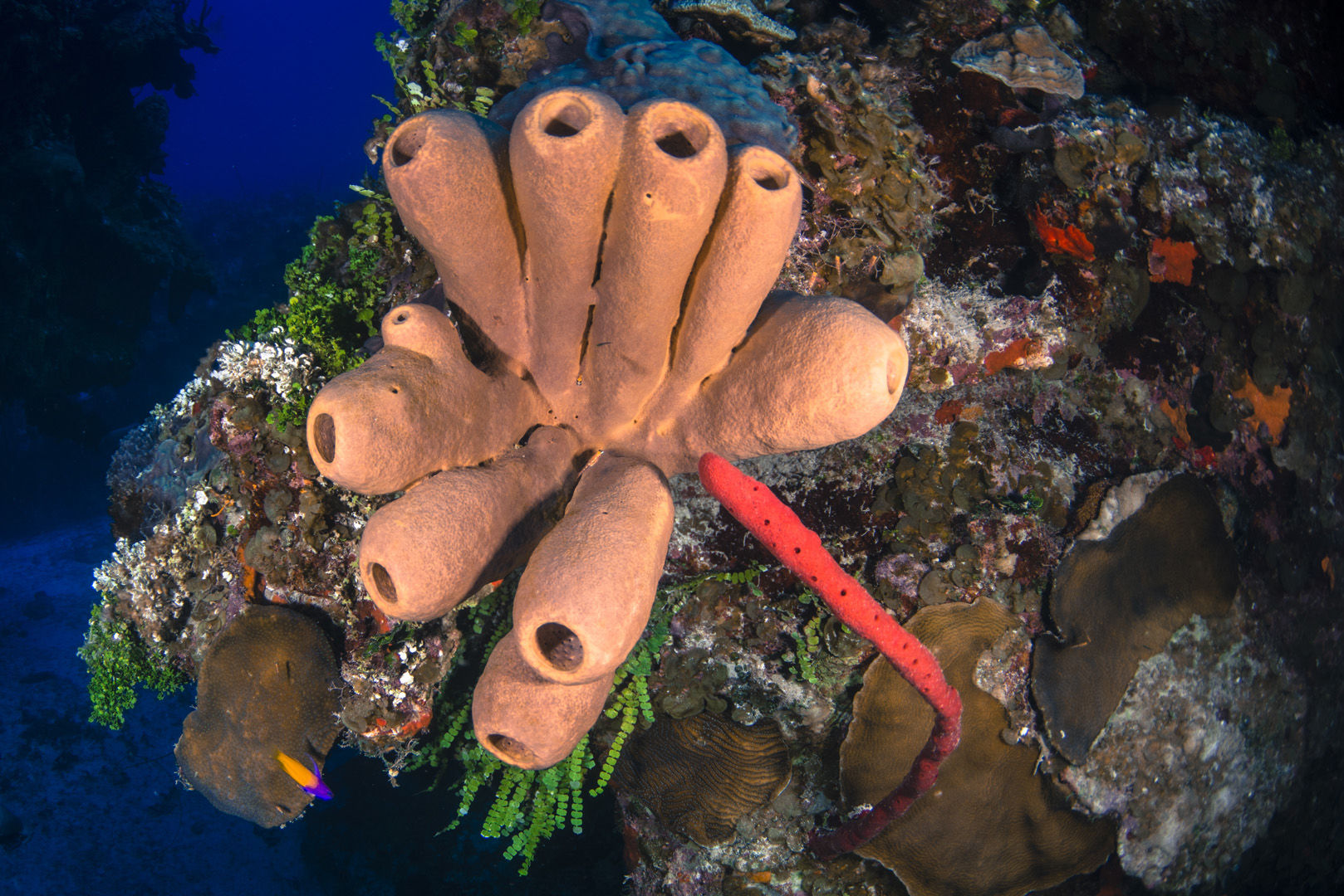 A cluster of brown tube sponges adorns the reef side of one of the Cayman Islands many wall dives