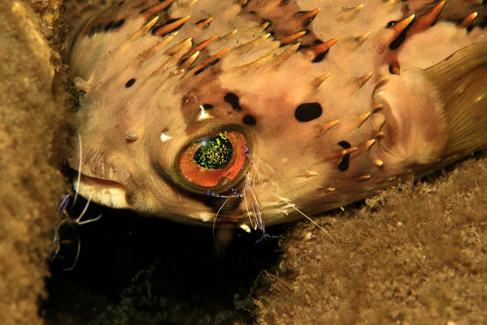 Burr fish in Dominica
