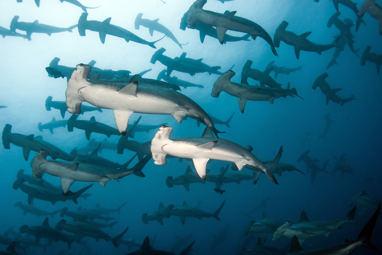 The nutrient-waters surrounding the Galapagos Islands attract everything from giant whale sharks to large schools of hammerhead sharks