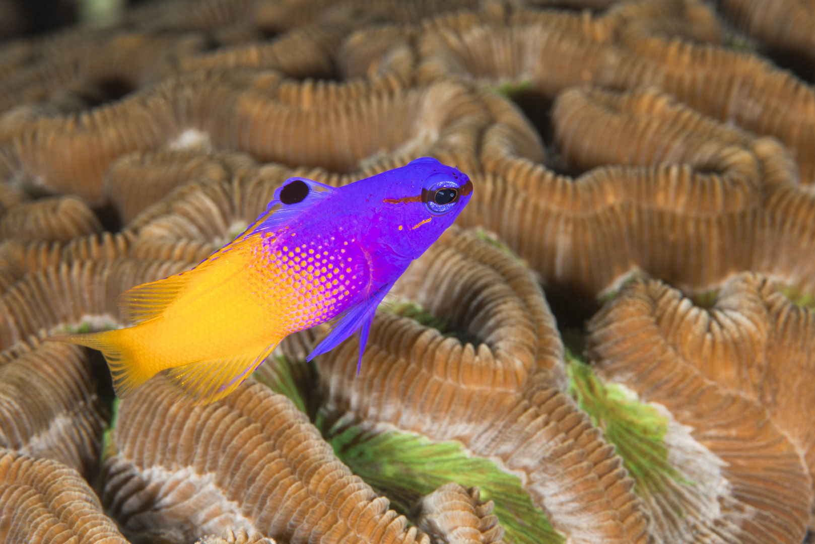 The striking purple and yellow coloration of this fairy basslet are among the many interesting residents you will see on the reefs in Guadeloupe