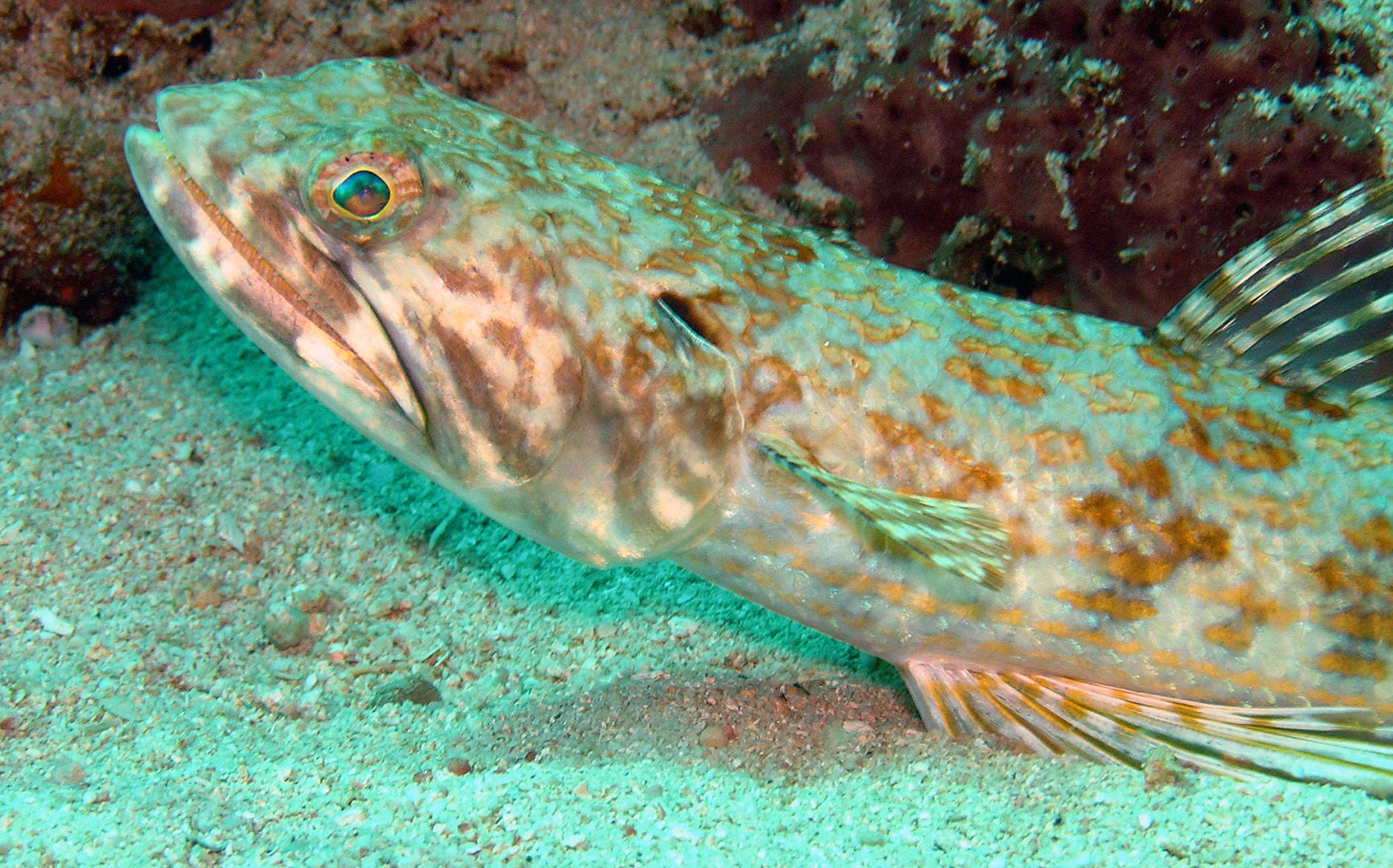 Lizard fish are among the many interesting residents you will see on the reefs in Guadeloupe
