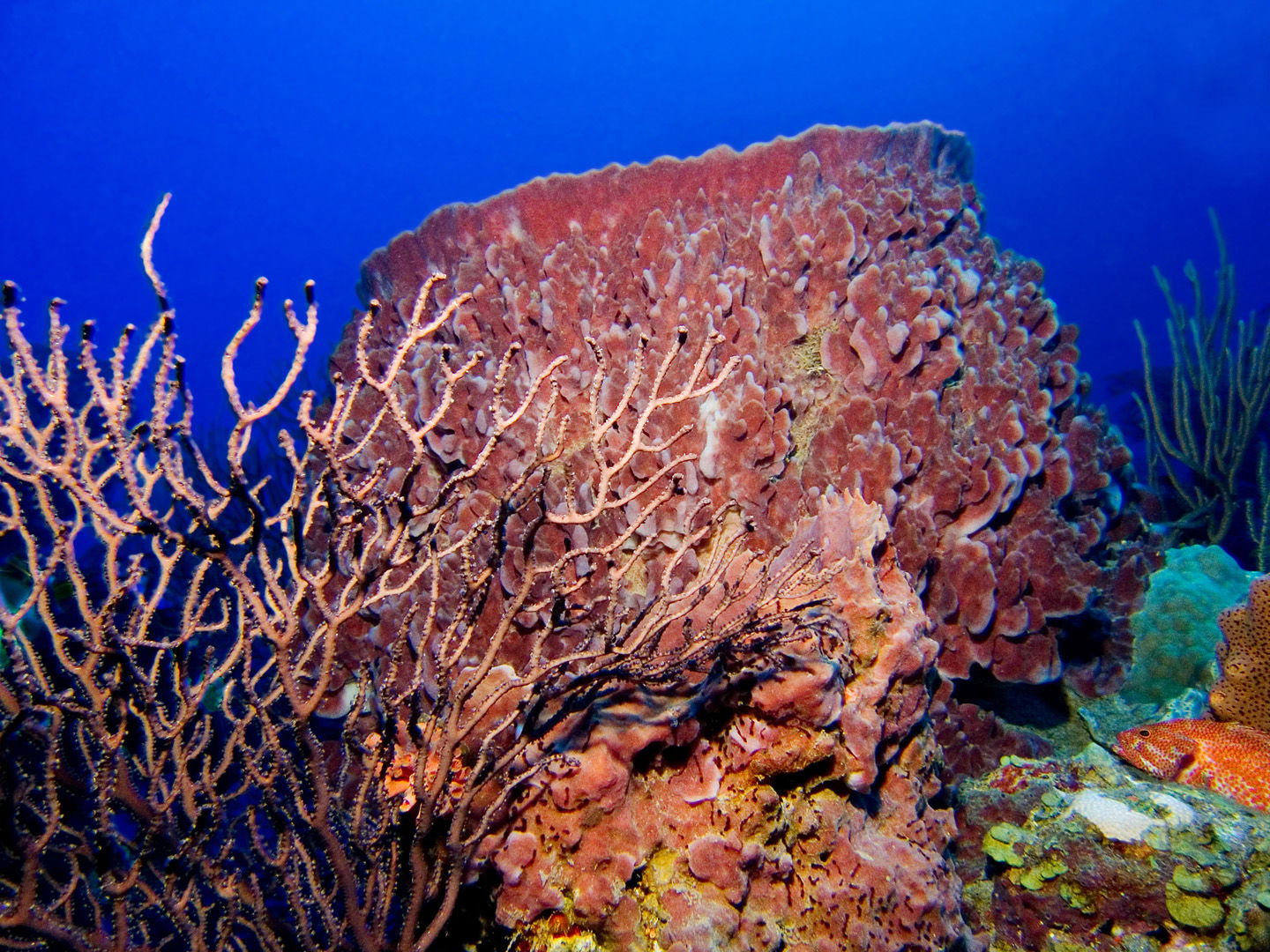 The coral reefs of Saba offer the intrepid divers many wondrous creatures like this large barrel sponge to see