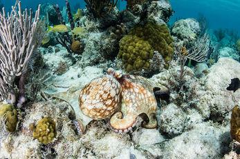 Caribbean Reef Octopus