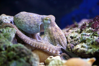 Common Atlantic Octopus