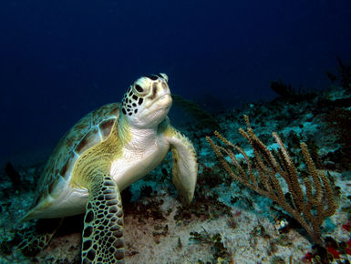 Sea turtle resting on the reef in Aruba