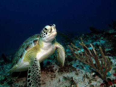Sea turtle resting on the reef in Aruba