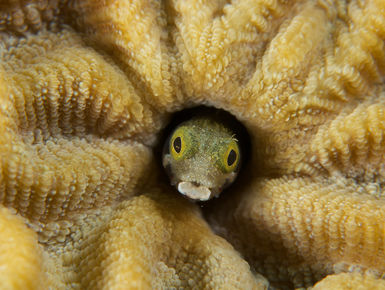 Cute little blenny peering from his home in the coral on Aruba's reefs