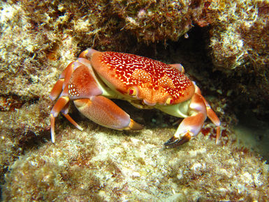 Batwing coral crabs are one of the many colorful inhabitants of Aruba's coral reefs