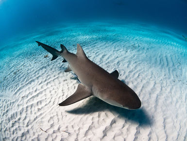 Lemon shark swims over a white sand bottom in the Bahamas