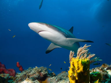 Reef shark swims over head in the Bahamas