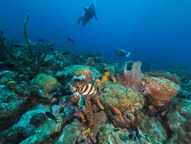 Scuba divers explore a reef in the clear, blue waters of Barbados