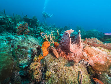 Scuba diver explores a reef in the clear, blue waters of Barbados