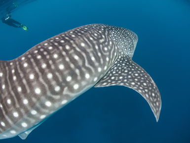 Encounters with whale sharks are among the top of the list to many avid snorkelers and scuba divers