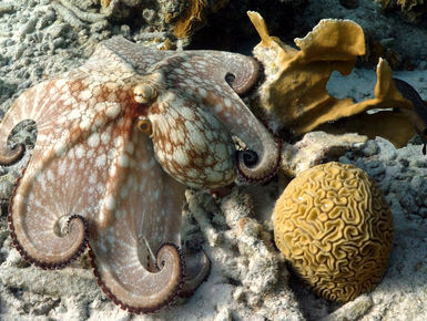 Octopus like this are a common sight on the reefs in Bonaire