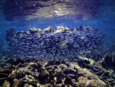 School of silversides on a reef in BVI