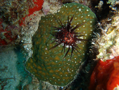 Sea urchin are common reef dwellers around BVI