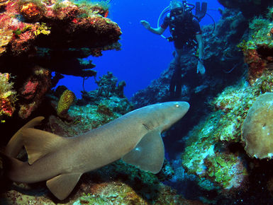Divers sometimes encounter Nurse Sharks on the reefs in the Cayman Islands