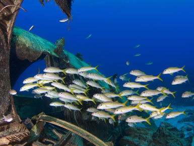 School of goatfish swimming around a wreck in Curacao