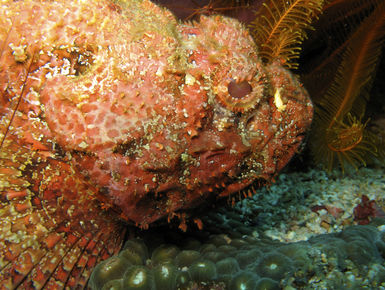 Scorpionfish in Dominica
