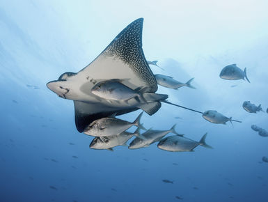 The waters surrounding the Galapagos Islands serve as home to attractions ranging from giant whale sharks and large schools of hammerhead sharks to majestic eagle rays