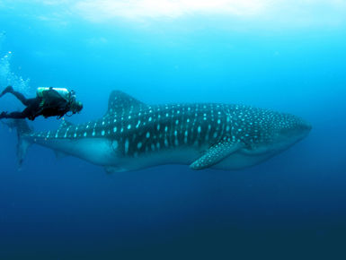 encounters with whale sharks are among the top of the list to many avid snorkelers and scuba diver in The Galapagos Islands
