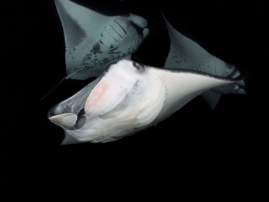 Encounters with manta rays is a hallmark experience with any snorkeler or scuba diver in Hawaii