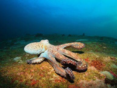 The waters of Indonesia are at the epicenter of marine biodiversity with thousand upon thousands of enigmatic marine invertebrates like this octopus