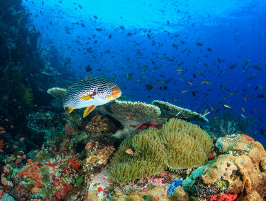 Located in the middle of the Indo Pacific, the waters of Malaysia offer up one of the richest marine biodiversity of any ocean with thousand upon thousands of enigmatic marine invertebrates, corals and fish_scuba diving vacations in Malaysia