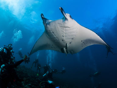 Encounters with manta rays is a hallmark experience with any snorkeler or scuba diver in the Maldives