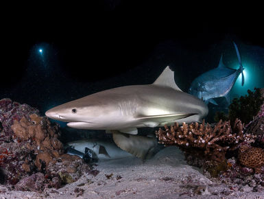 The Maldives may be a nation of coral reefs it is a place with a rich bounty of marine wildlife like this reef shark creating a lifetime of diving possibilities