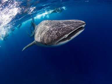 Encounters with whale sharks are among the top of the list to many avid snorkelers and scuba divers in the Maldives