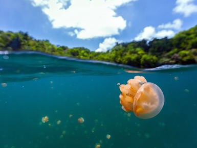 The unique freshwater residents of Jellyfish Lake, present snorkelers the opportunities to swim with thousands of non-stinging jellyfish