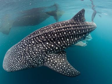 Encounters with whale sharks are among the top of the list to many avid snorkelers and scuba divers in the PNG