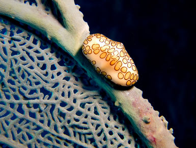 The coral reefs of Saba offer the intrepid divers many wondrous creatures like this Flamingo Tongue to see
