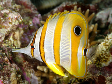 The Solomon Islands still remains one of the Pacific's best-kept secrets with a splendid diversity of marine life that includes ornately colored reef fish to menageries of nudibranchs, shrimps and crabs