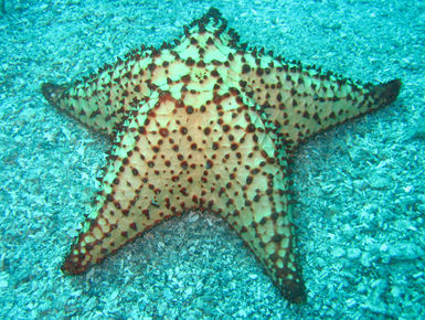 The coral reefs of St. Kitts & Nevis offer the intrepid divers many wondrous creatures like this sea star