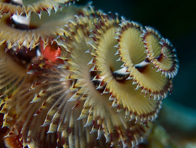 The coral reefs of St. Lucia offers the intrepid divers many wondrous creatures like this Christmas tree worm