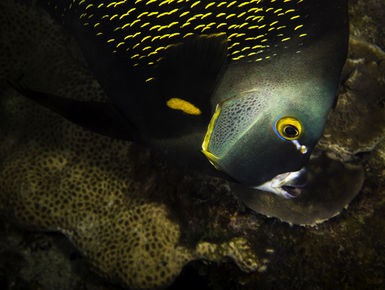 The coral reefs of St. Vincent & Grenadines offer the intrepid divers many wondrous creatures like this French angelfish