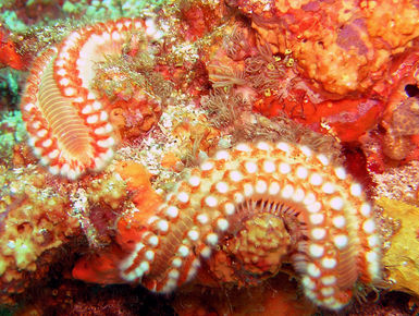 The coral reefs of Tobago offer the intrepid divers many wondrous creatures like this bristle worm