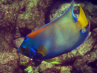 The coral reefs of Tobago offer the intrepid divers many wondrous creatures like this Queen angelfish