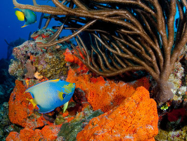 The coral reefs of Turks & Caicos offer the intrepid divers many wondrous creatures like this queen angelfish