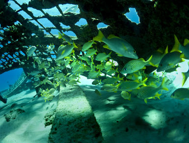 The coral reefs of Turks & Caicos offer the intrepid divers many wondrous creatures like these schoolmaster snappers